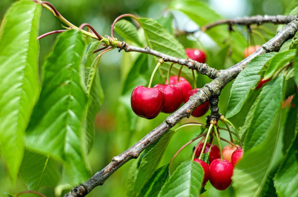 Sweet cherries on a branch