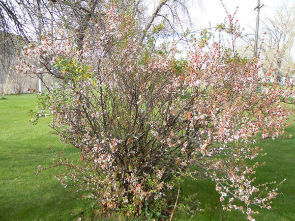 Nanking cherry bush in a field